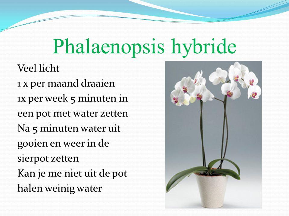 Phalaenopsis hybride Veel licht 1 x per maand draaien 1x per week 5 minuten in een pot met water zetten Na 5 minuten water uit gooien en weer in de sierpot zetten Kan je me niet uit de pot halen weinig water
