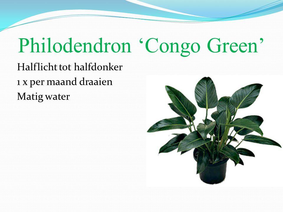Philodendron 'Congo Green' Halflicht tot halfdonker 1 x per maand draaien Matig water