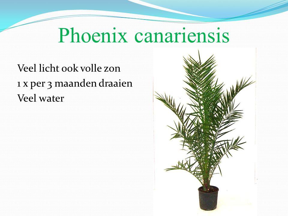 Phoenix canariensis Veel licht ook volle zon 1 x per 3 maanden draaien Veel water