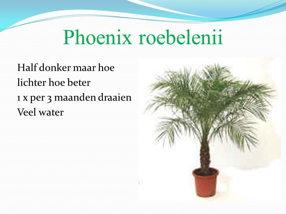 Phoenix roebelenii Half donker maar hoe lichter hoe beter 1 x per 3 maanden draaien Veel water