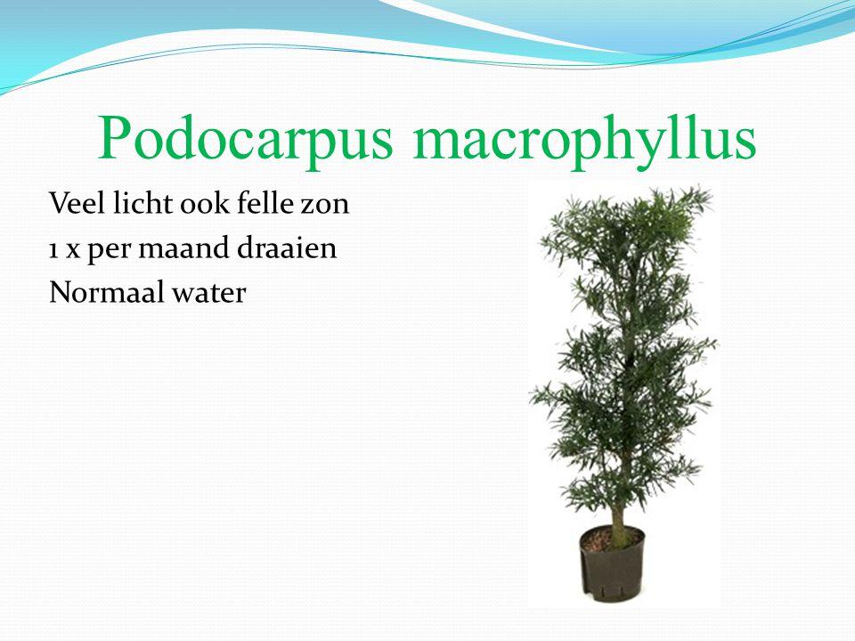Podocarpus macrophyllus Veel licht ook felle zon 1 x per maand draaien Normaal water