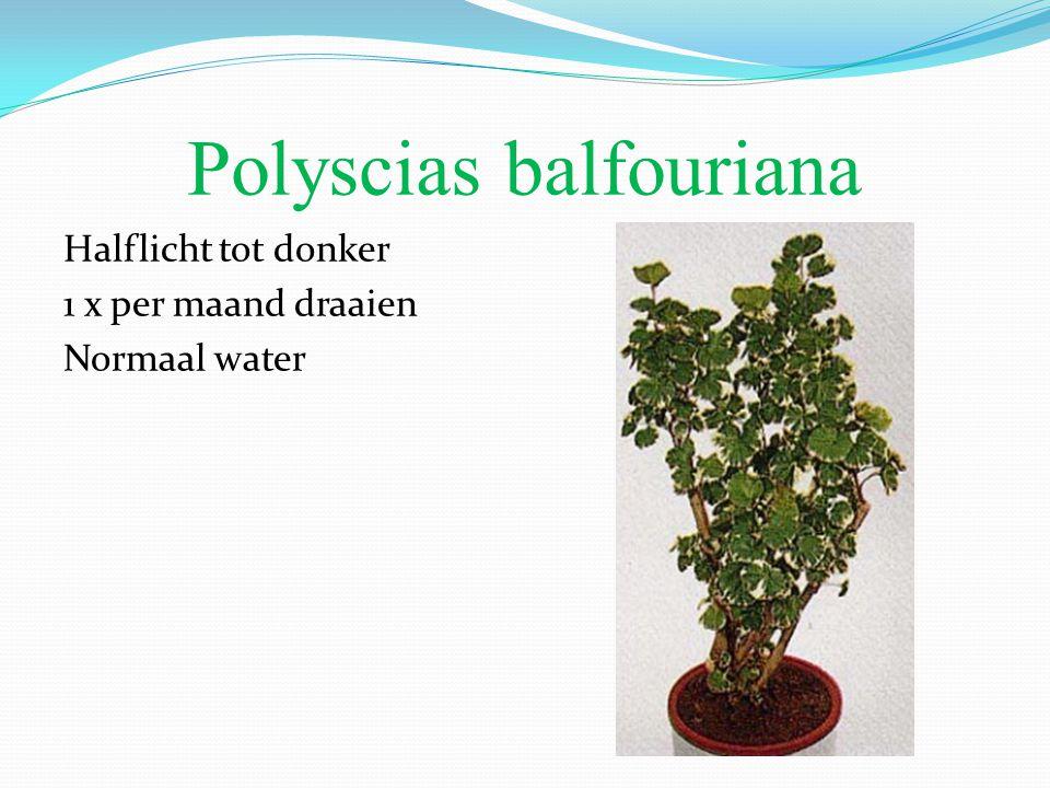 Polyscias balfouriana Halflicht tot donker 1 x per maand draaien Normaal water