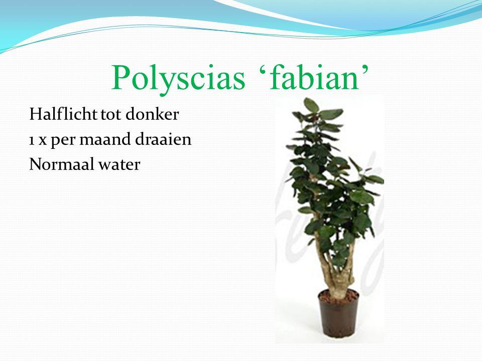 Polyscias 'fabian' Halflicht tot donker 1 x per maand draaien Normaal water