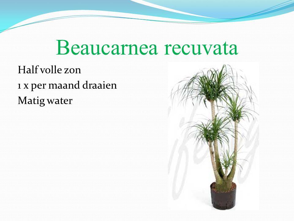 Beaucarnea recuvata Half volle zon 1 x per maand draaien Matig water