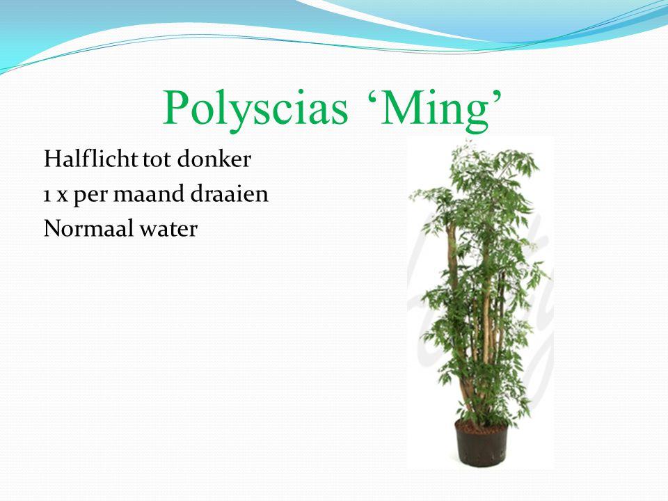 Polyscias 'Ming' Halflicht tot donker 1 x per maand draaien Normaal water