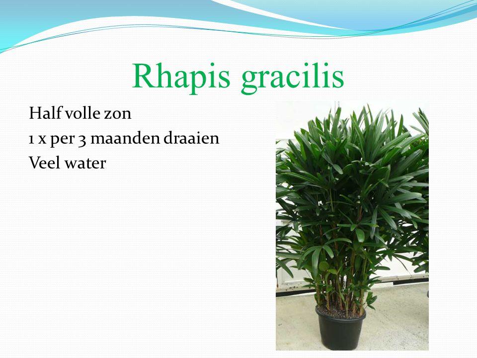 Rhapis gracilis Half volle zon 1 x per 3 maanden draaien Veel water