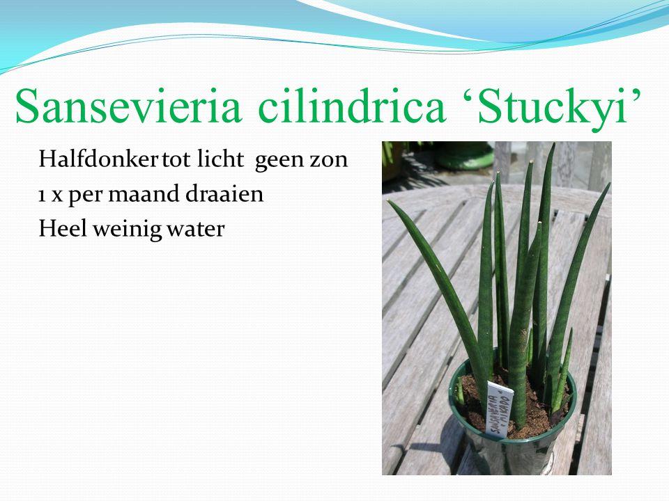 Sansevieria cilindrica 'Stuckyi' Halfdonker tot licht geen zon 1 x per maand draaien Heel weinig water