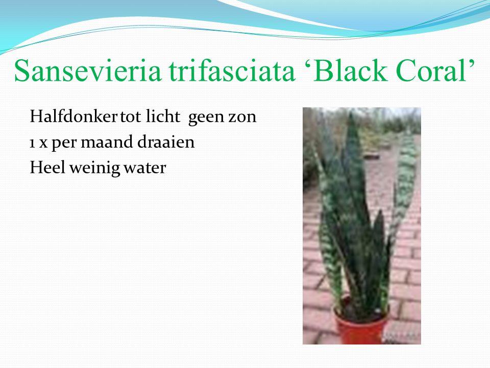 Sansevieria trifasciata 'Black Coral' Halfdonker tot licht geen zon 1 x per maand draaien Heel weinig water