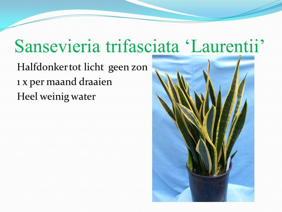 Sansevieria trifasciata 'Laurentii' Halfdonker tot licht geen zon 1 x per maand draaien Heel weinig water