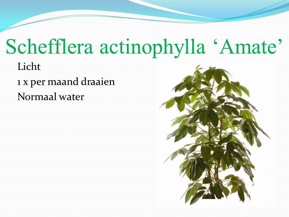 Schefflera actinophylla 'Amate' Licht 1 x per maand draaien Normaal water