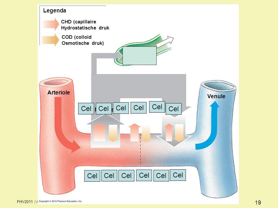 FHV2011 / Anatomie & fysiologie periode 1 week 2 19 CHD (capillaire Hydrostatische druk COD (colloid Osmotische druk) Legenda Arteriole Venule Filtratie Cel