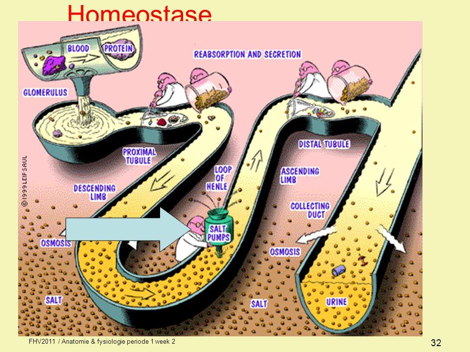 FHV2011 / Anatomie & fysiologie periode 1 week 2 32 Homeostase
