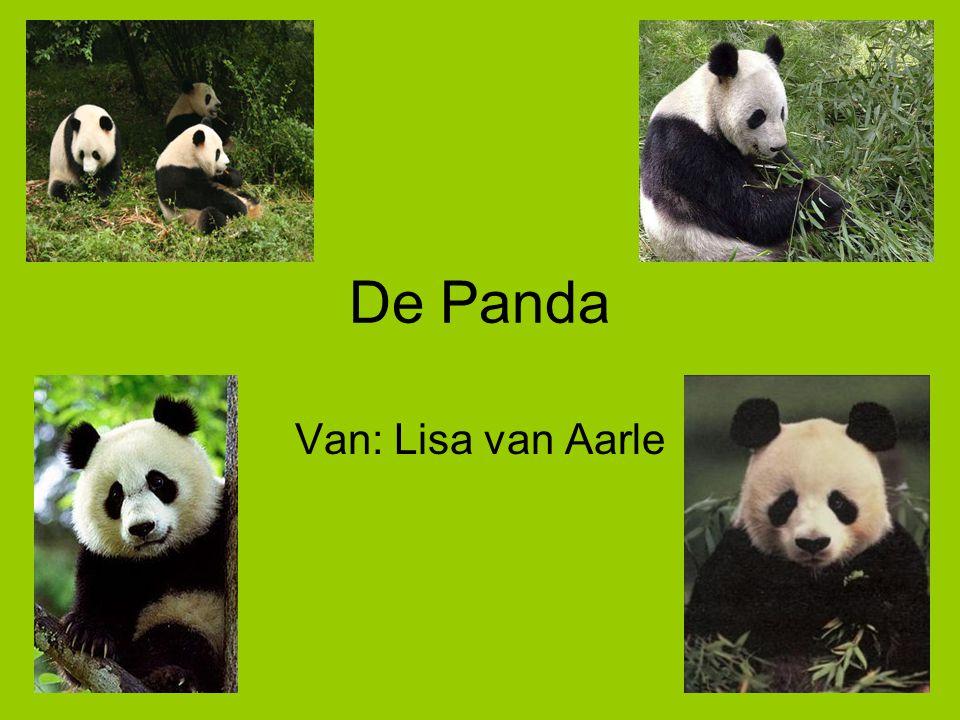 Waarschijnlijk weten jullie wat een panda eet.Bamboe dus.