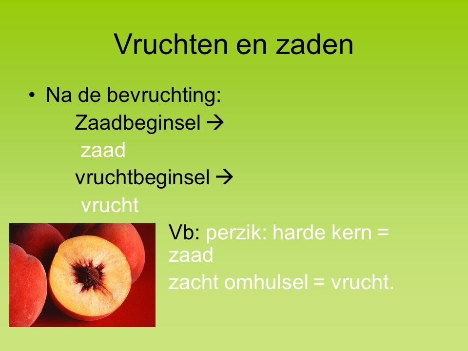 Vruchten en zaden Na de bevruchting: Zaadbeginsel  zaad vruchtbeginsel  vrucht Vb: perzik: harde kern = zaad zacht omhulsel = vrucht.