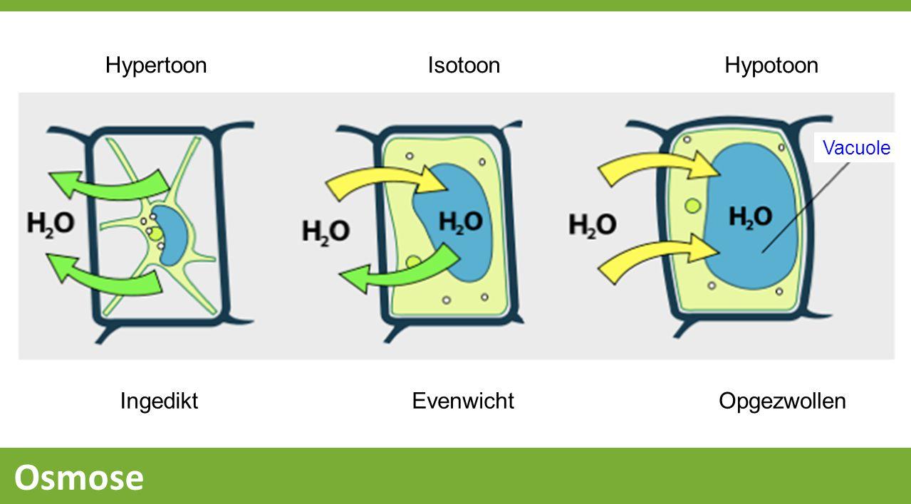 Osmose Opstelling: gedestilleerd water 1.Spoel het bekerglas en vul het met 300ml nieuw gedestilleerd water.