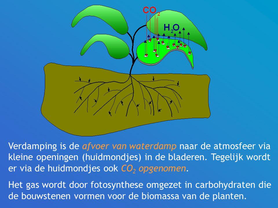 Verdamping is de afvoer van waterdamp naar de atmosfeer via kleine openingen (huidmondjes) in de bladeren.