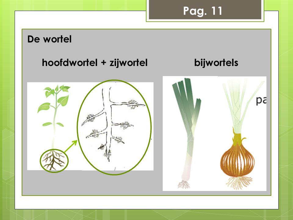 Pag. 11 De wortel hoofdwortel + zijwortel bijwortels