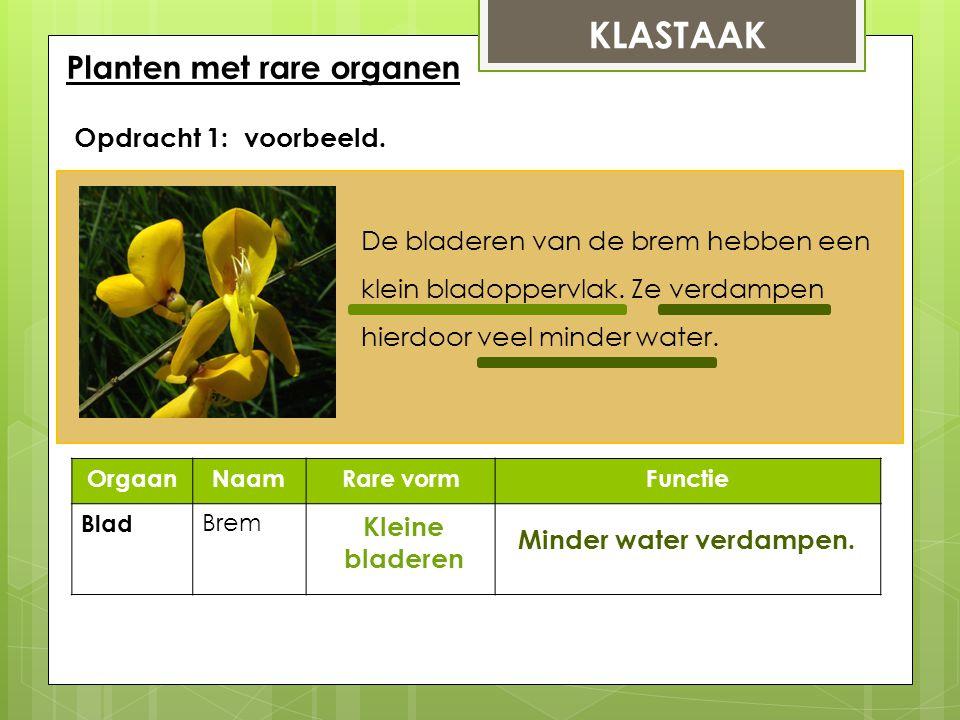 KLASTAAK Planten met rare organen Opdracht 1: voorbeeld. OrgaanNaamRare vormFunctie Blad Brem Kleine bladeren Minder water verdampen. De bladeren van
