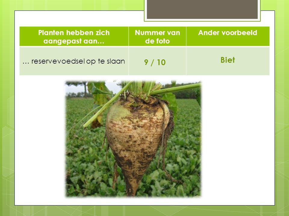 Planten hebben zich aangepast aan… Nummer van de foto Ander voorbeeld … reservevoedsel op te slaan 9 / 10 Biet 910