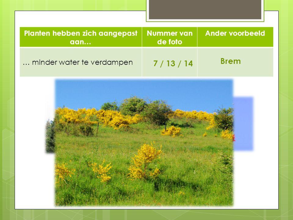 Planten hebben zich aangepast aan… Nummer van de foto Ander voorbeeld … minder water te verdampen 7 / 13 / 14 Brem 1413 7