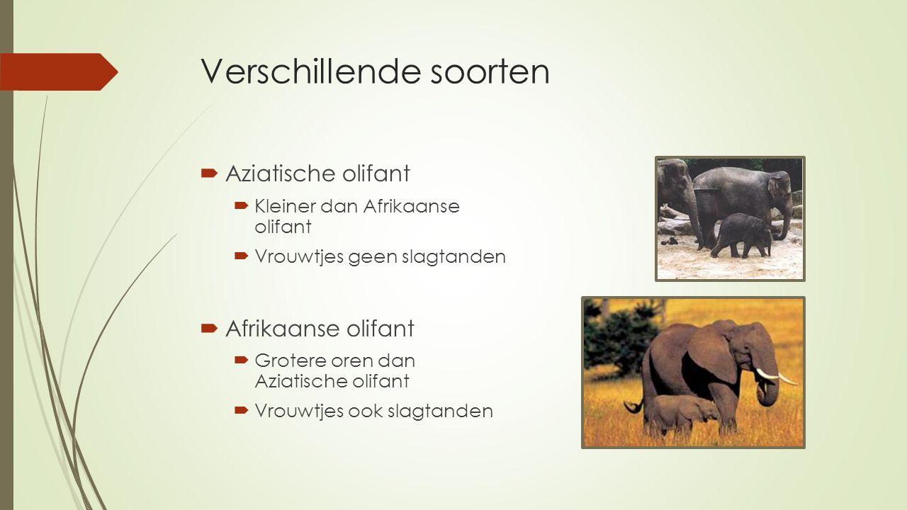 Verschillende soorten  Aziatische olifant  Kleiner dan Afrikaanse olifant  Vrouwtjes geen slagtanden  Afrikaanse olifant  Grotere oren dan Aziati
