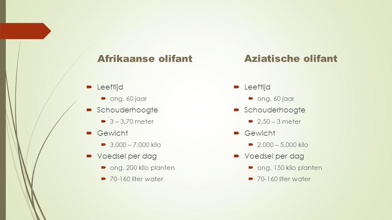Afrikaanse olifant  Leeftijd  ong. 60 jaar  Schouderhoogte  3 – 3,70 meter  Gewicht  3.000 – 7.000 kilo  Voedsel per dag  ong. 200 kilo plante