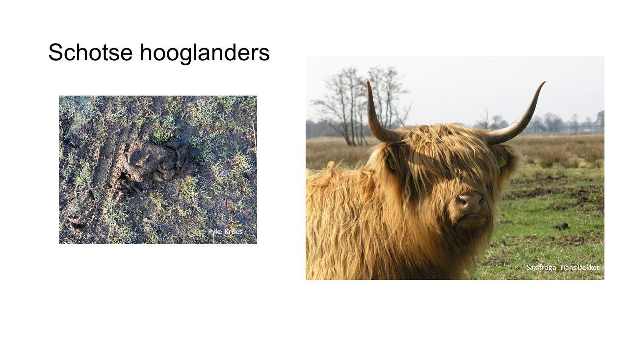 Schotse hooglanders Saxifraga -Hans Dekker Pyke Kroes