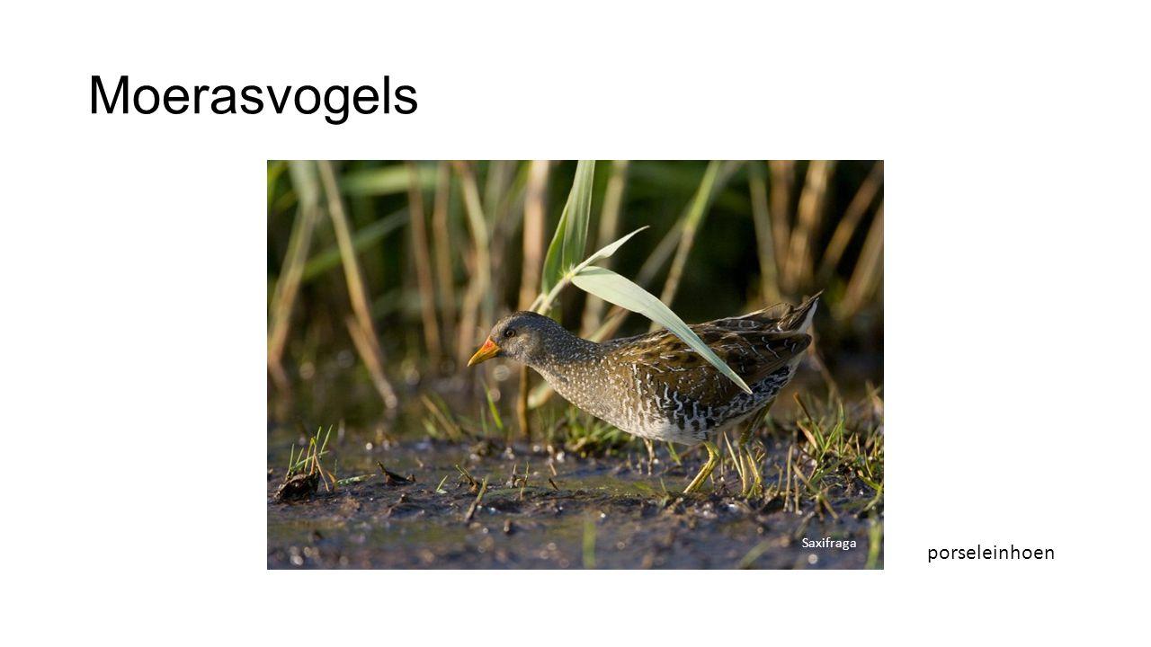 Moerasvogels Saxifraga porseleinhoen