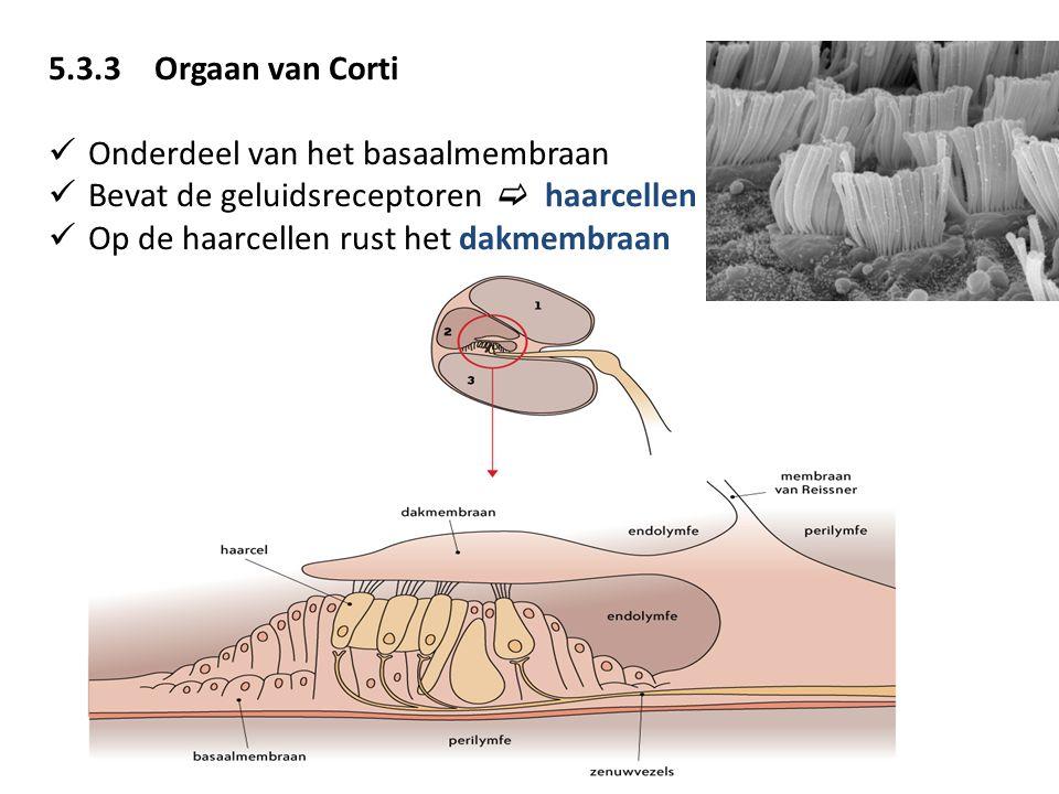 5.3.3Orgaan van Corti Onderdeel van het basaalmembraan Bevat de geluidsreceptoren  haarcellen Op de haarcellen rust het dakmembraan