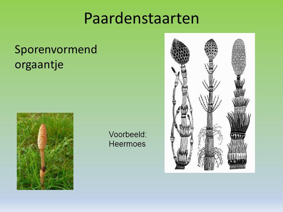 Paardenstaarten Sporenvormend orgaantje Voorbeeld: Heermoes
