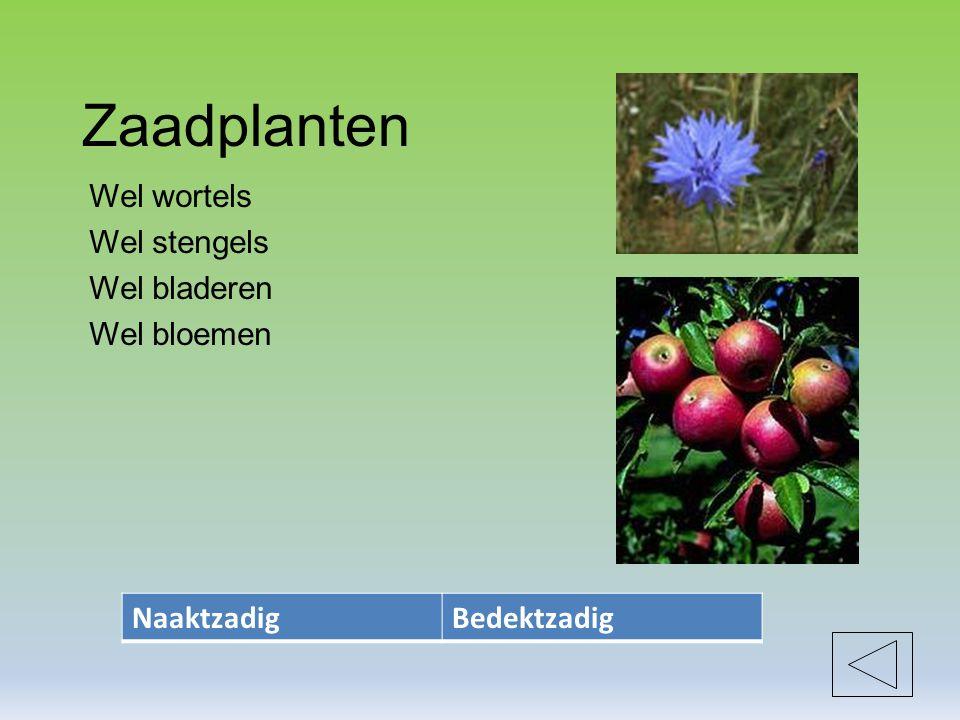 Zaadplanten Wel wortels Wel stengels Wel bladeren Wel bloemen NaaktzadigBedektzadig