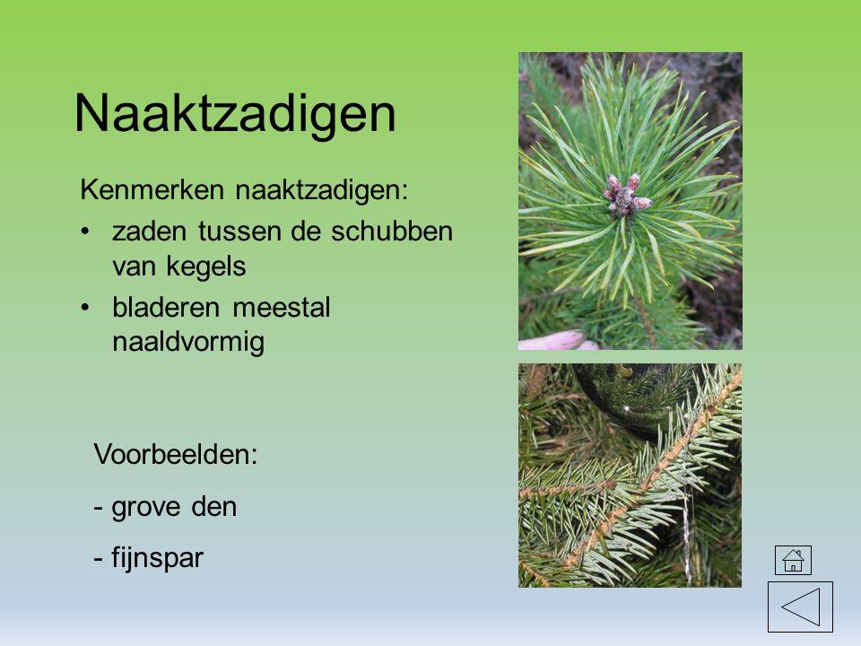 Naaktzadigen Kenmerken naaktzadigen: zaden tussen de schubben van kegels bladeren meestal naaldvormig Voorbeelden: - grove den - fijnspar