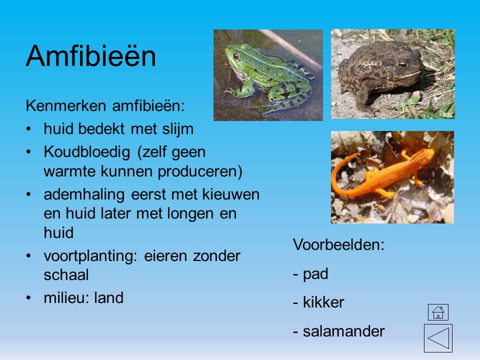 Amfibieën Kenmerken amfibieën: huid bedekt met slijm Koudbloedig (zelf geen warmte kunnen produceren) ademhaling eerst met kieuwen en huid later met l