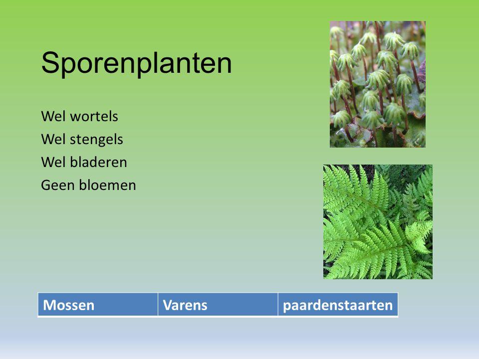 Sporenplanten Wel wortels Wel stengels Wel bladeren Geen bloemen MossenVarenspaardenstaarten
