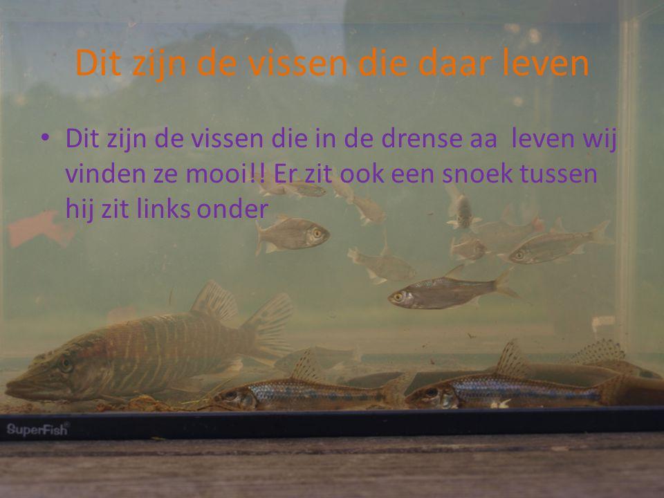 Dit zijn de vissen die daar leven Dit zijn de vissen die in de drense aa leven wij vinden ze mooi!! Er zit ook een snoek tussen hij zit links onder