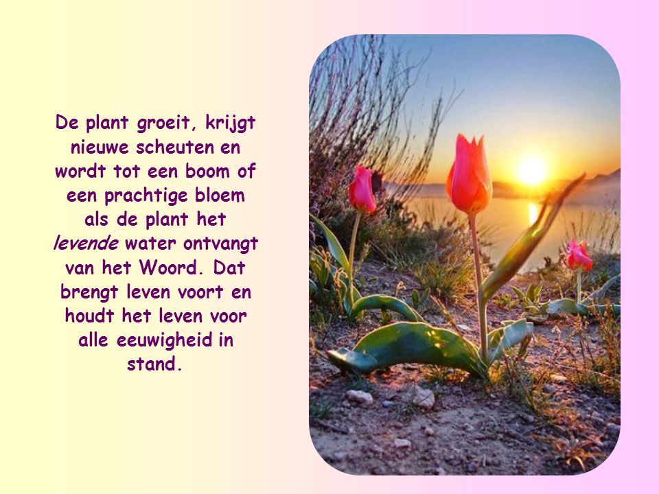 De plant groeit, krijgt nieuwe scheuten en wordt tot een boom of een prachtige bloem als de plant het levende water ontvangt van het Woord.