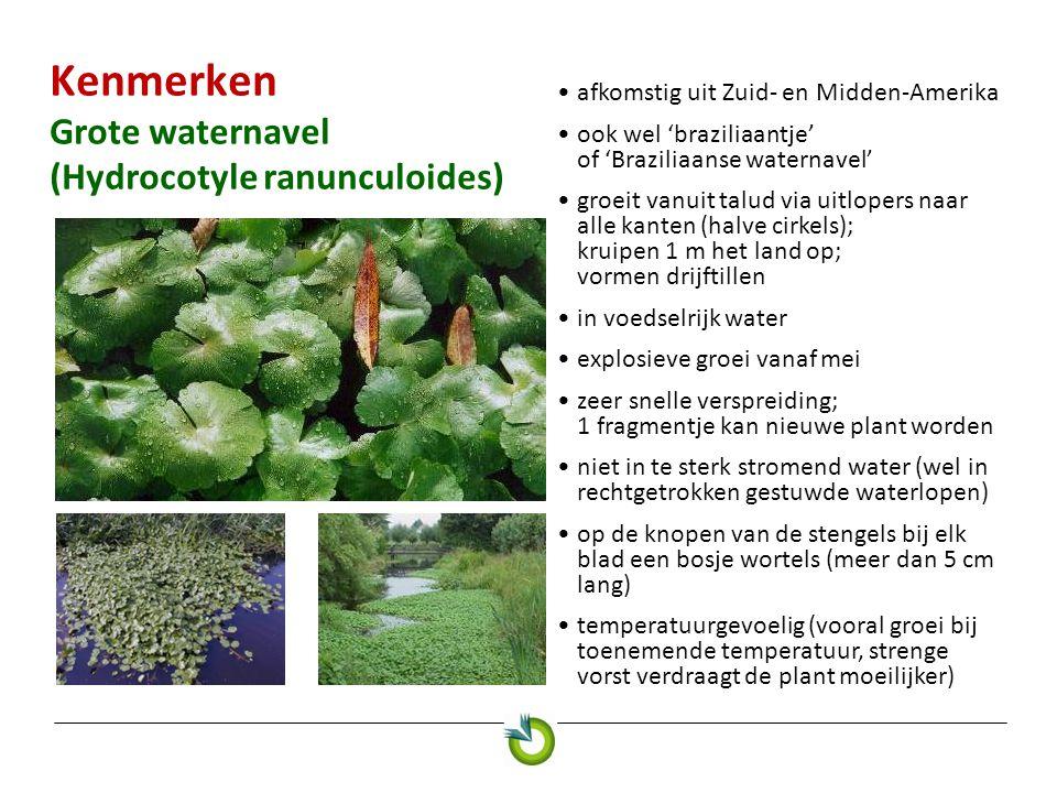 Kenmerken Grote waternavel (Hydrocotyle ranunculoides) afkomstig uit Zuid- en Midden-Amerika ook wel 'braziliaantje' of 'Braziliaanse waternavel' groe