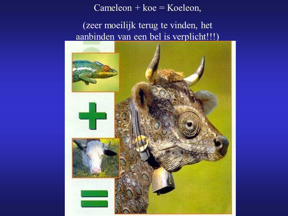 Cameleon + koe = Koeleon, (zeer moeilijk terug te vinden, het aanbinden van een bel is verplicht!!!)