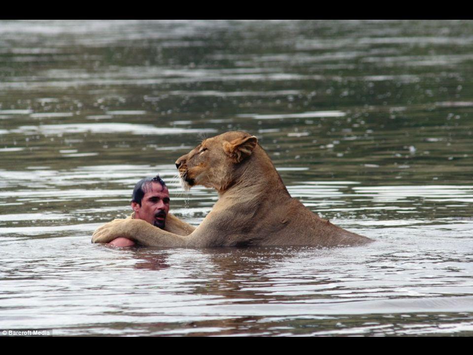 Deze leeuwin is geen grote vriendin van water, maar als haar vriend haar vraagt hem te vergezellen is er geen twijfel en omhelst zij hem uiteindelijk.