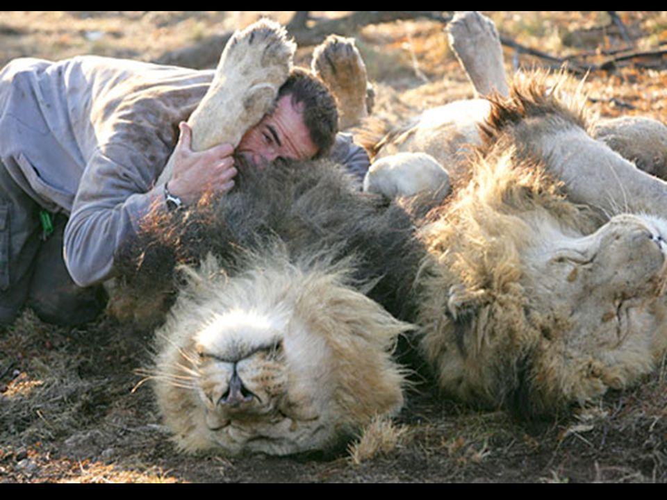 De leeuw, ook bekend als de koning van de jungle, wekt een agressief imago op. Kevin echter, omarmt hen alsof ze zich gedragen als eenvoudige katjes.