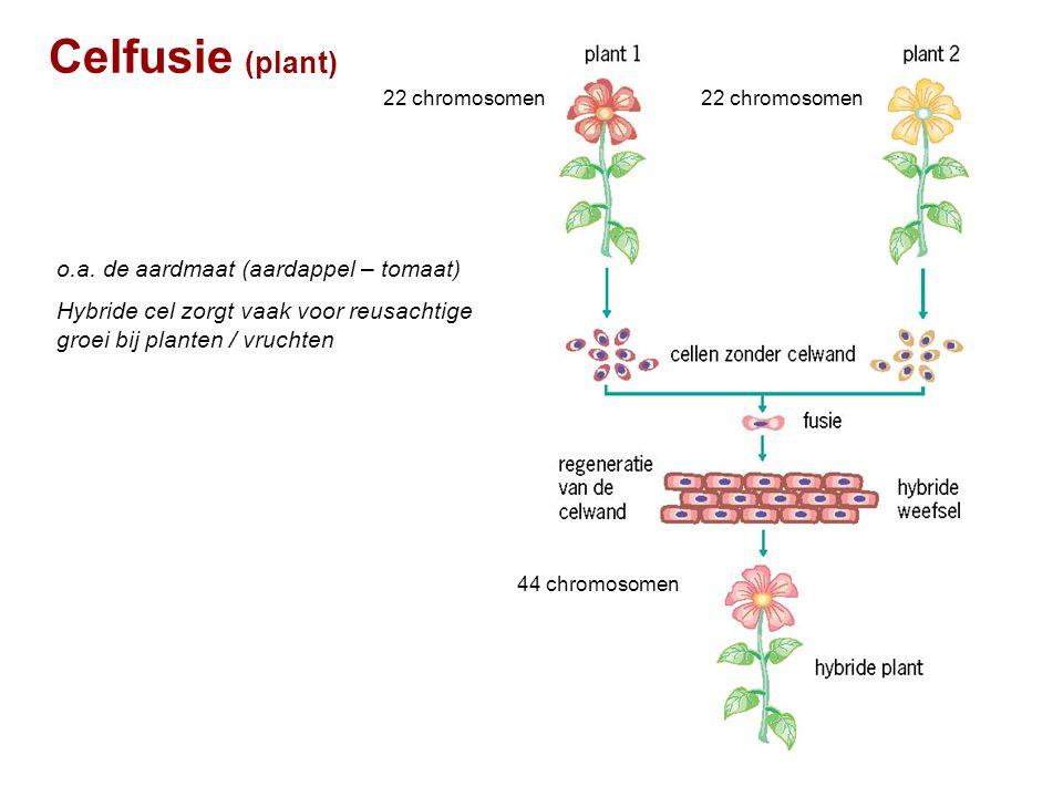 Celfusie (plant) 22 chromosomen 44 chromosomen o.a. de aardmaat (aardappel – tomaat) Hybride cel zorgt vaak voor reusachtige groei bij planten / vruch