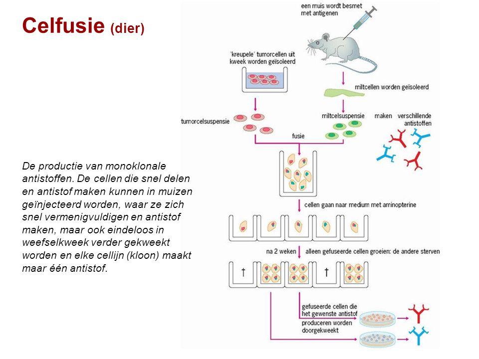 Celfusie (dier) De productie van monoklonale antistoffen. De cellen die snel delen en antistof maken kunnen in muizen geïnjecteerd worden, waar ze zic