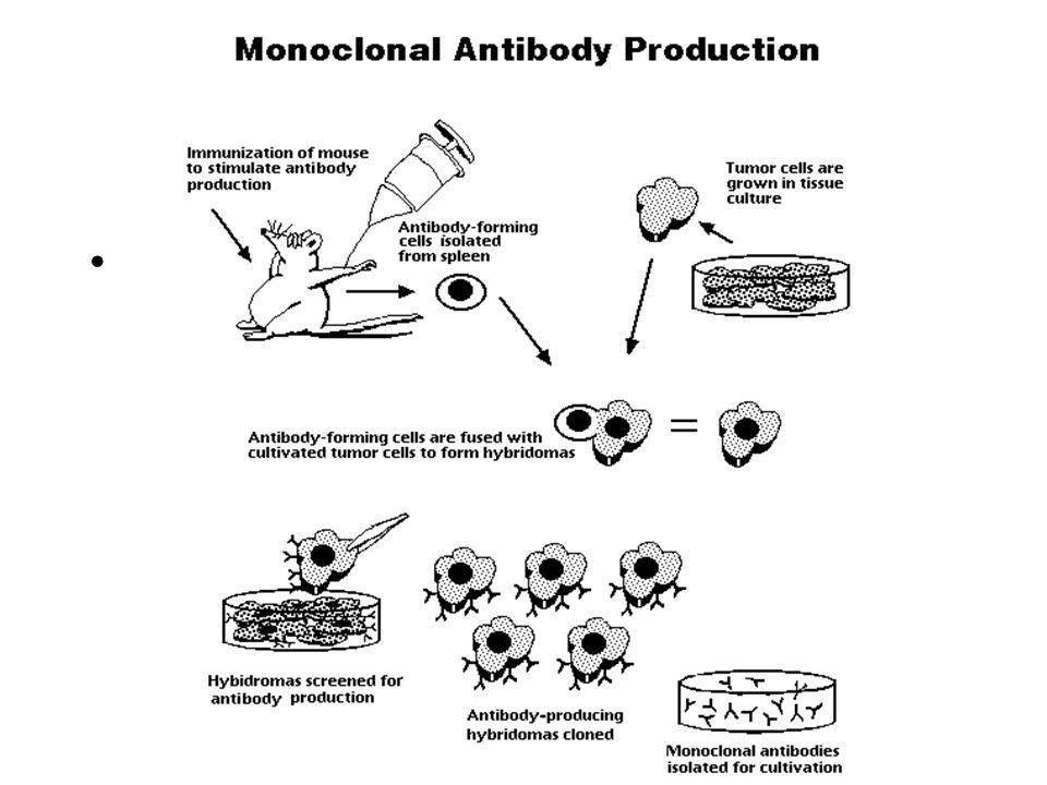 MODERNE BIOTECHNOLOGIE MONOKLONALE ANTILICHAAM TECHNIEK (VOORLOPER VAN DE CEL FUSIE TECHNIEK) RECOMBINANT DNA TECHNIEK – transgenese – cisgenese CEL F