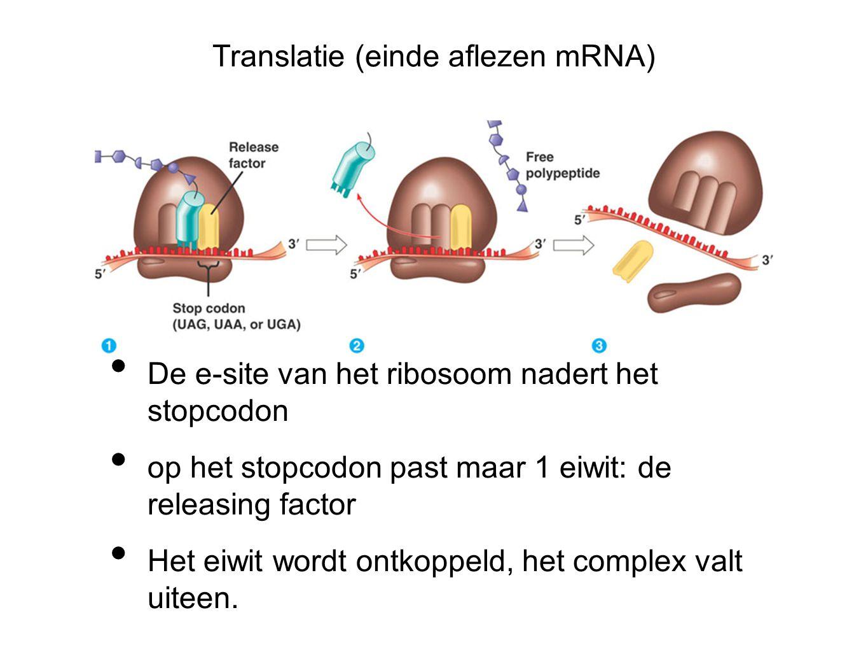 Translatie (einde aflezen mRNA) De e-site van het ribosoom nadert het stopcodon op het stopcodon past maar 1 eiwit: de releasing factor Het eiwit word