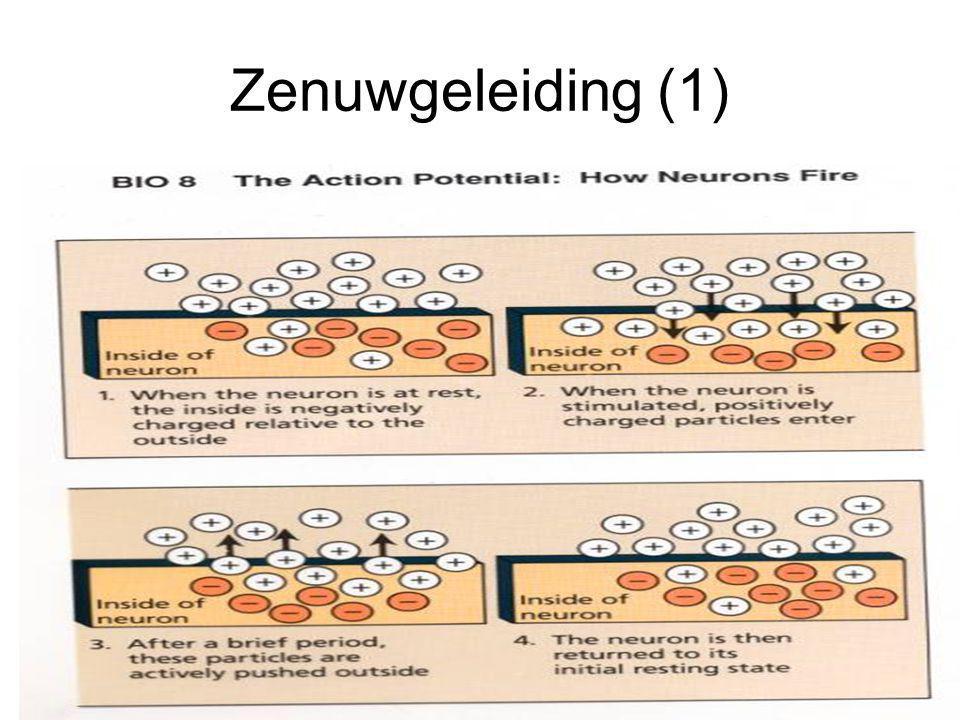 Zenuwgeleiding (2) Geleidingssnelheid door de zenuwen afhankelijk van: 1) Electrische capaciteit 2) Weerstand van het axon