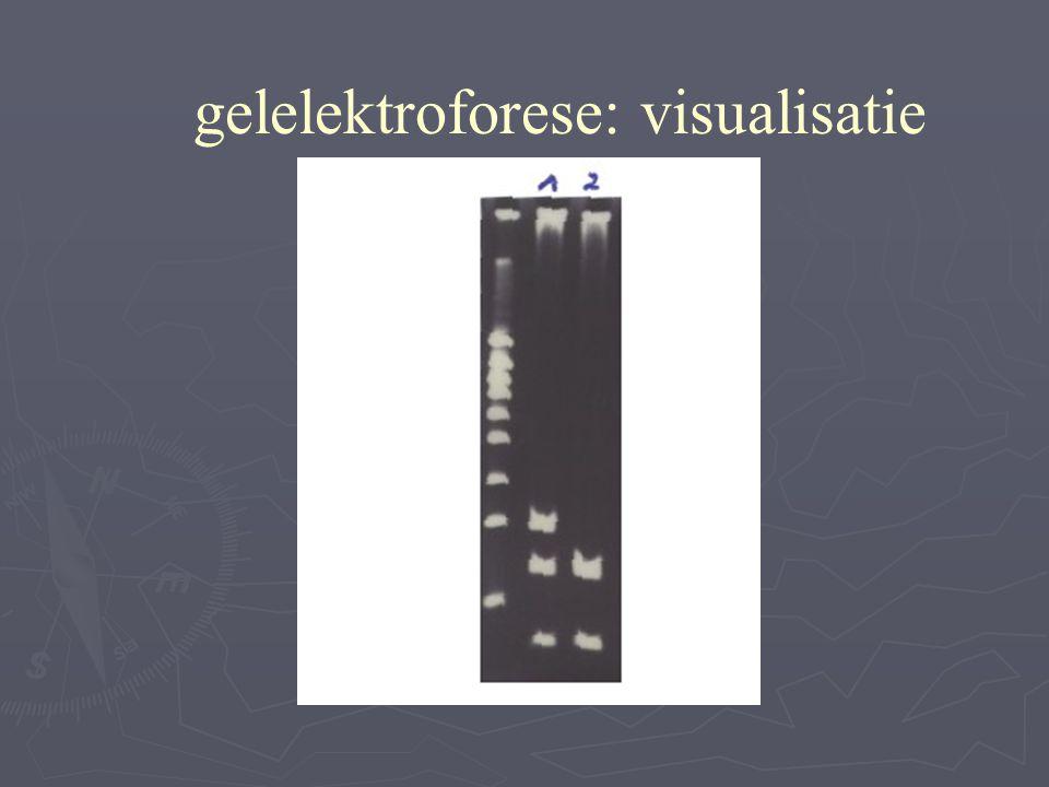 - + gelelektroforese: visualisatie 1000 500 300 200 100