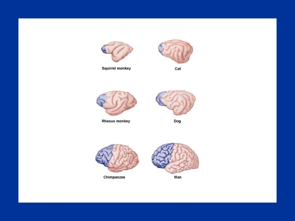 Dorsolaterale en orbito prefrontale schors n Lateraal aanzicht n Mediaal aanzicht