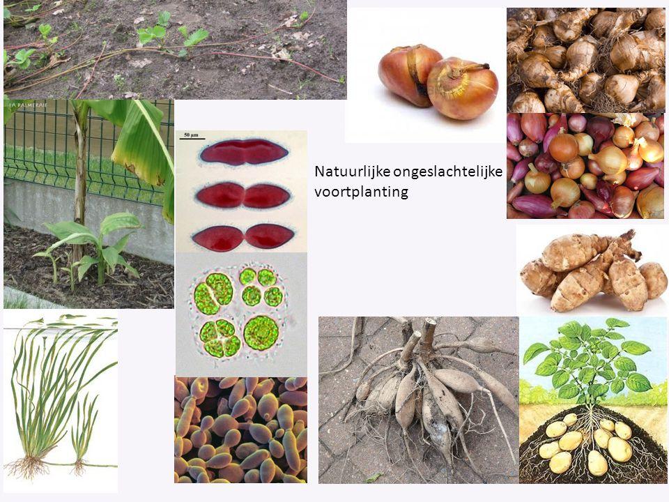 Natuurlijke ongeslachtelijke voortplanting