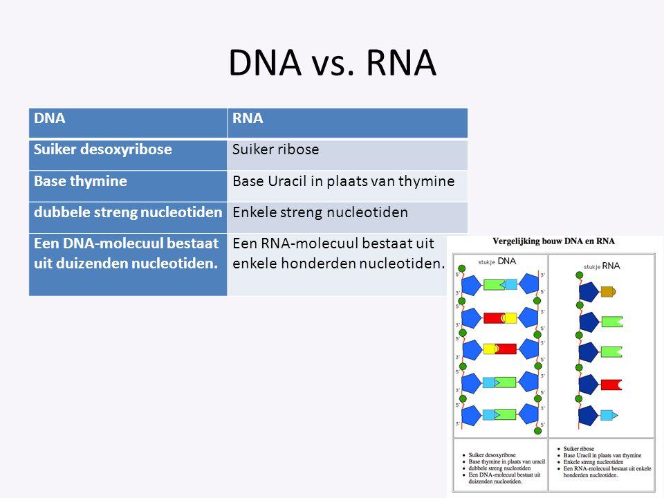 DNA vs. RNA DNARNA Suiker desoxyriboseSuiker ribose Base thymineBase Uracil in plaats van thymine dubbele streng nucleotidenEnkele streng nucleotiden