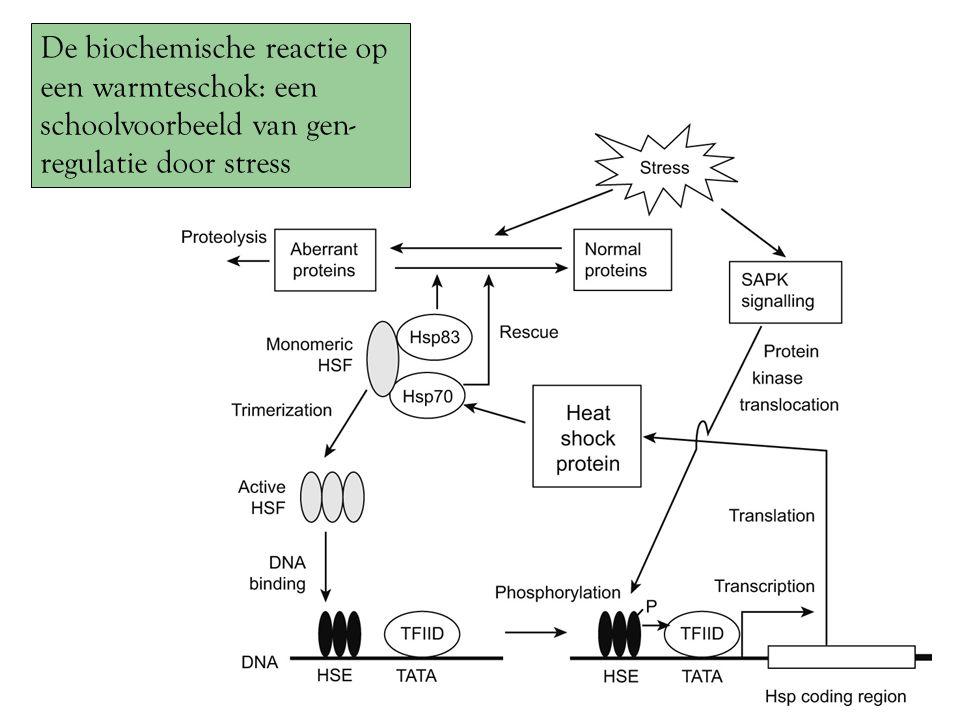 De biochemische reactie op een warmteschok: een schoolvoorbeeld van gen- regulatie door stress